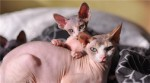 美国十大畅销猫品种 斯芬克斯排名第一