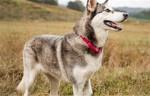 世界十大强壮狗狗排行 哈士奇和阿拉斯加都上榜了