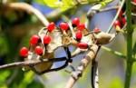 世界上最危险的十大植物 白蛇根草的毒性在里面只排第九