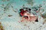十大怪异的海洋生物 你见过长着脚的唇红蝙蝠鱼吗