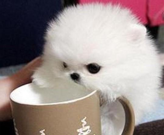 茶杯犬的价格与纯度有关,最高曾卖到上万元一只